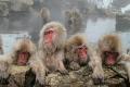 素材ナンバー 1286081 : 「露天風呂と地獄谷の猿」