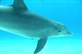 素材ナンバー 1842850 : 「1匹のイルカがゆっくりと泳ぐアップ」