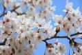 素材ナンバー 2026564 : 「桜」